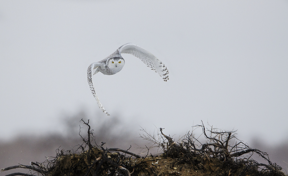 snowy owl take off from dirt mound in winter.jpg