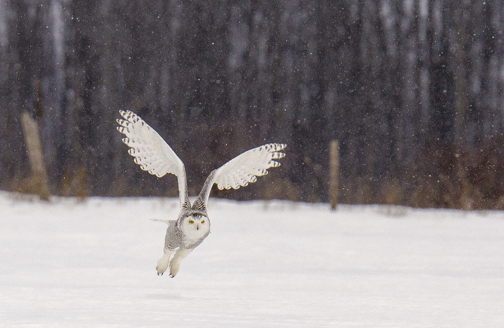 snowy owl with falling snow 2.jpg