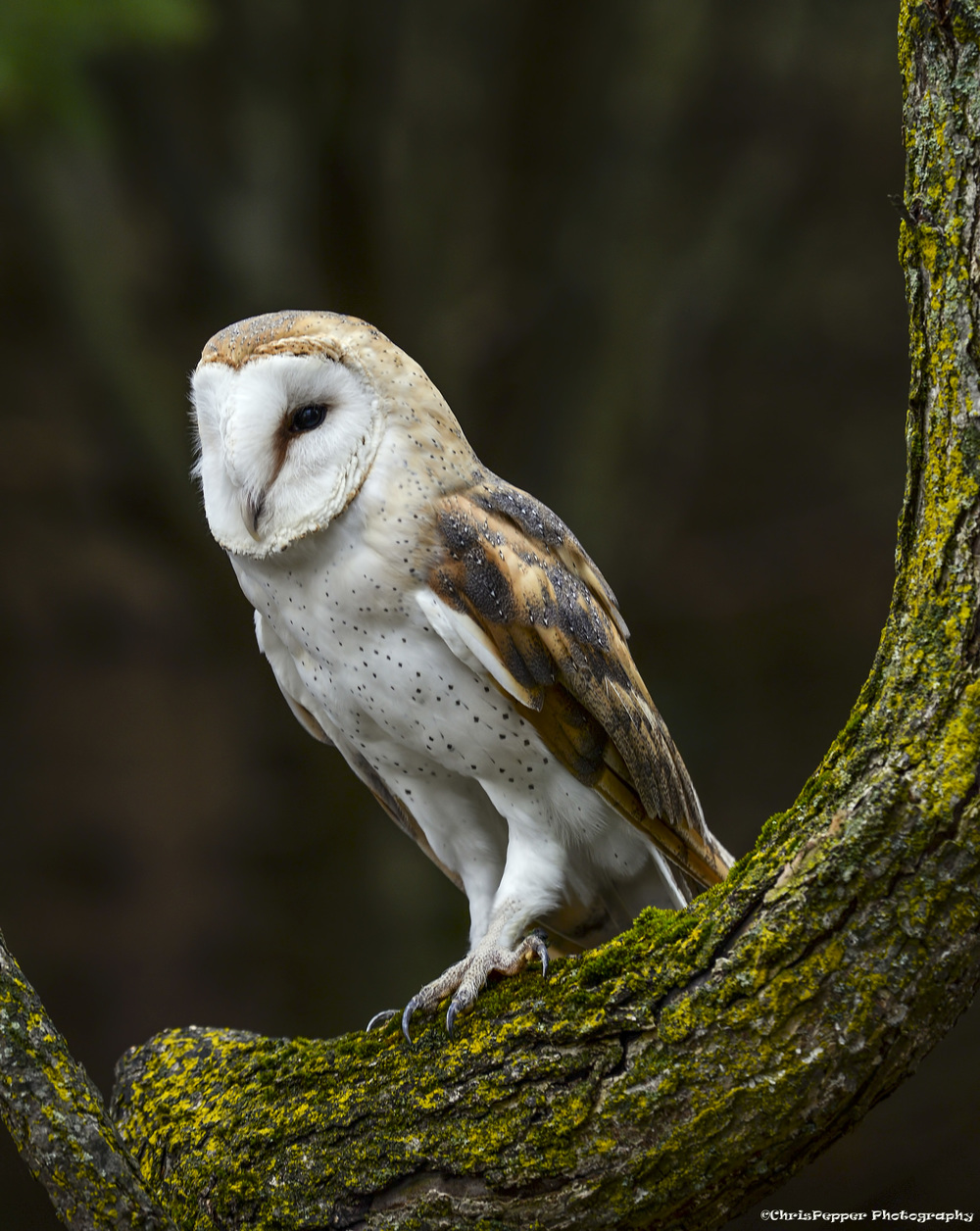 Barn owl in a tree.jpg