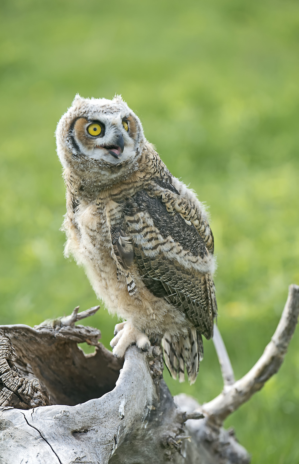 seven week old great horned owl fb.jpg