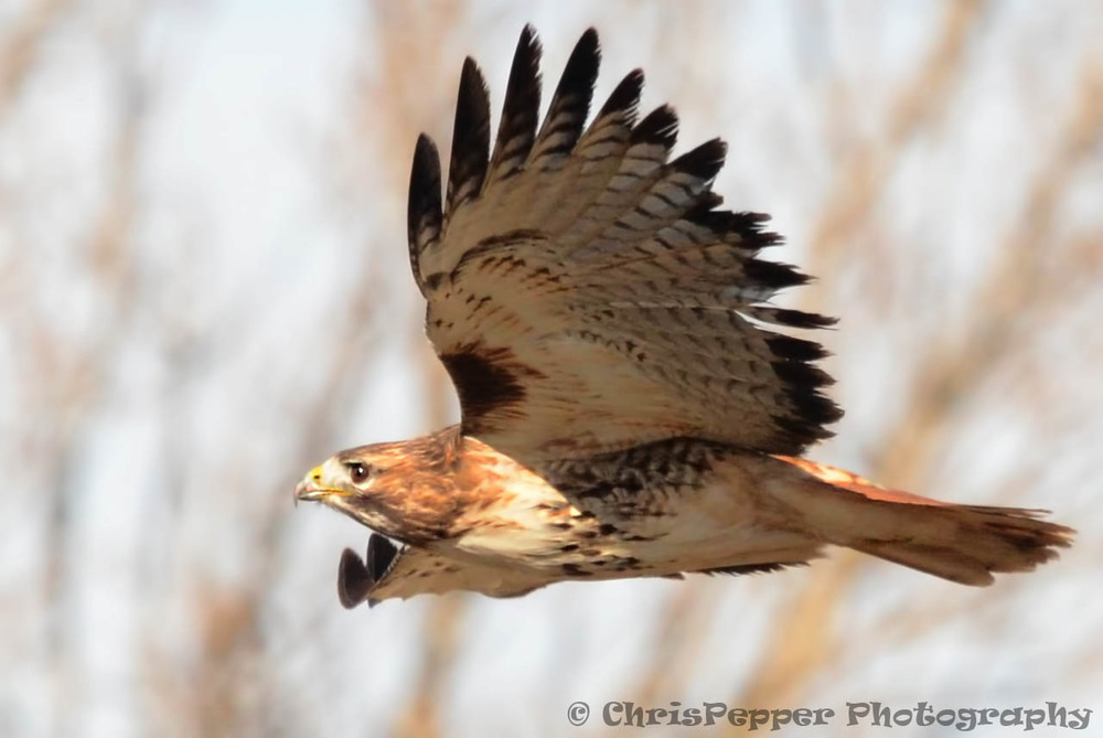 Red-Tailed Hawk 1.jpg