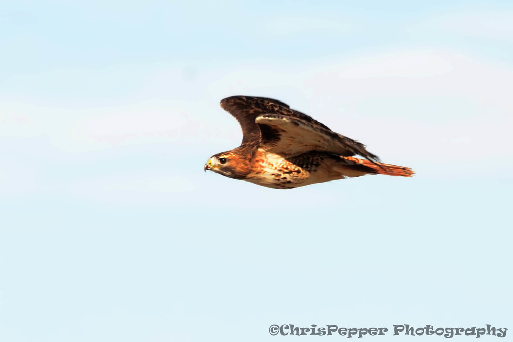 Red-tailed Hawk out front.jpg