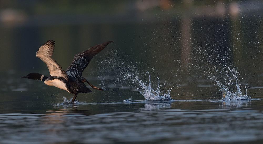 salerno-lake-common-loon.jpg
