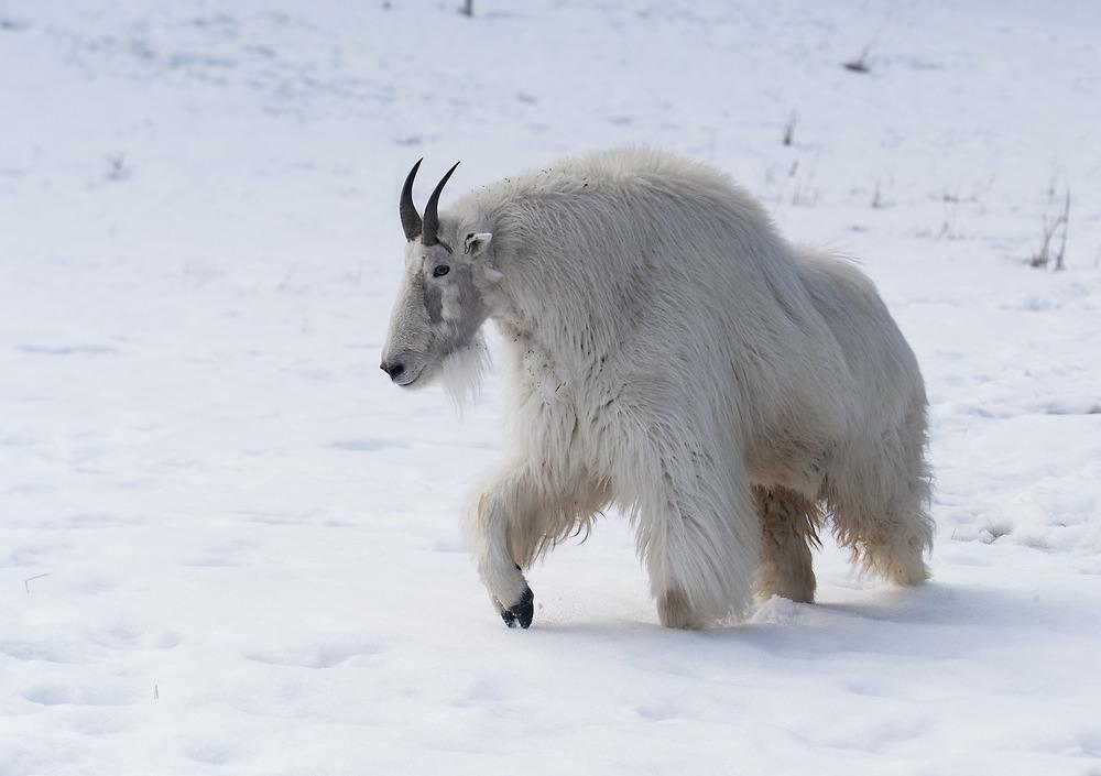 mountain goat in yukon - Copy.jpg