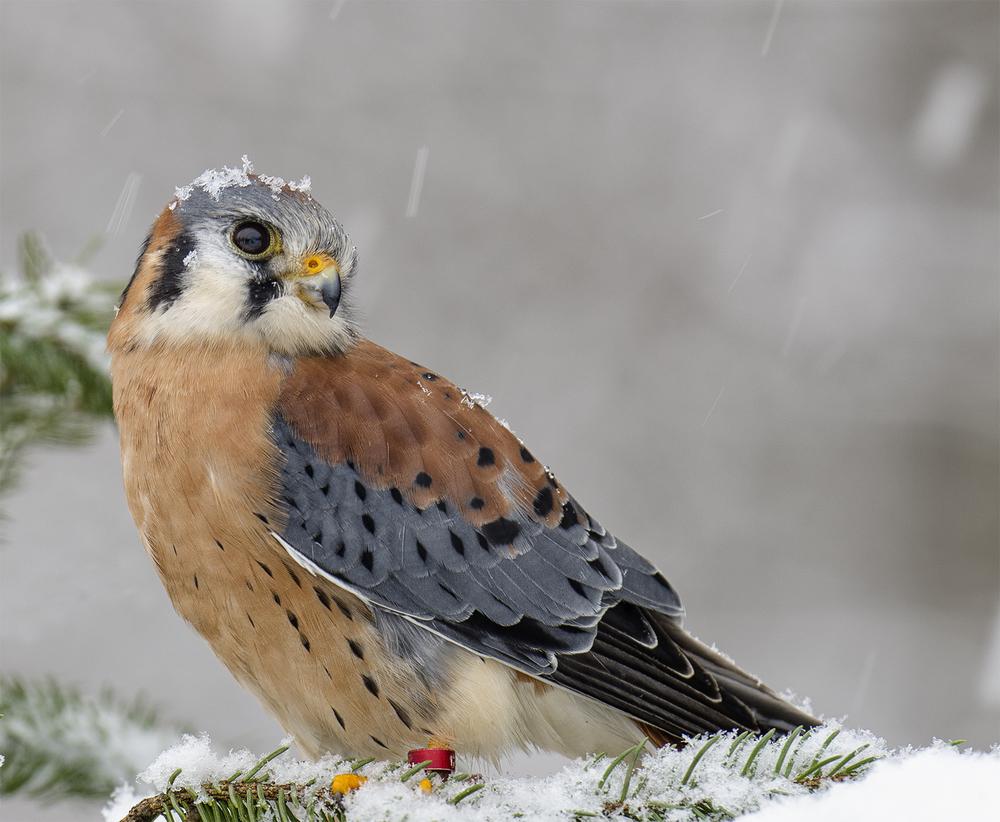 american kestrel in winter.jpg