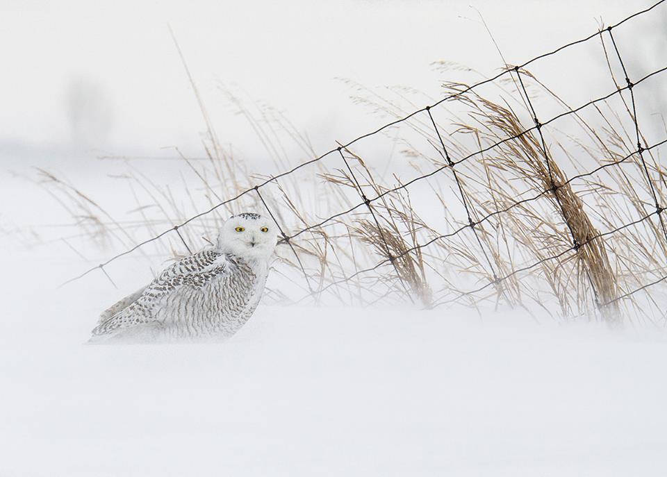 snowy owl.jpg