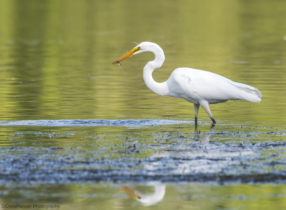 Great Egret dinner for 1.jpg