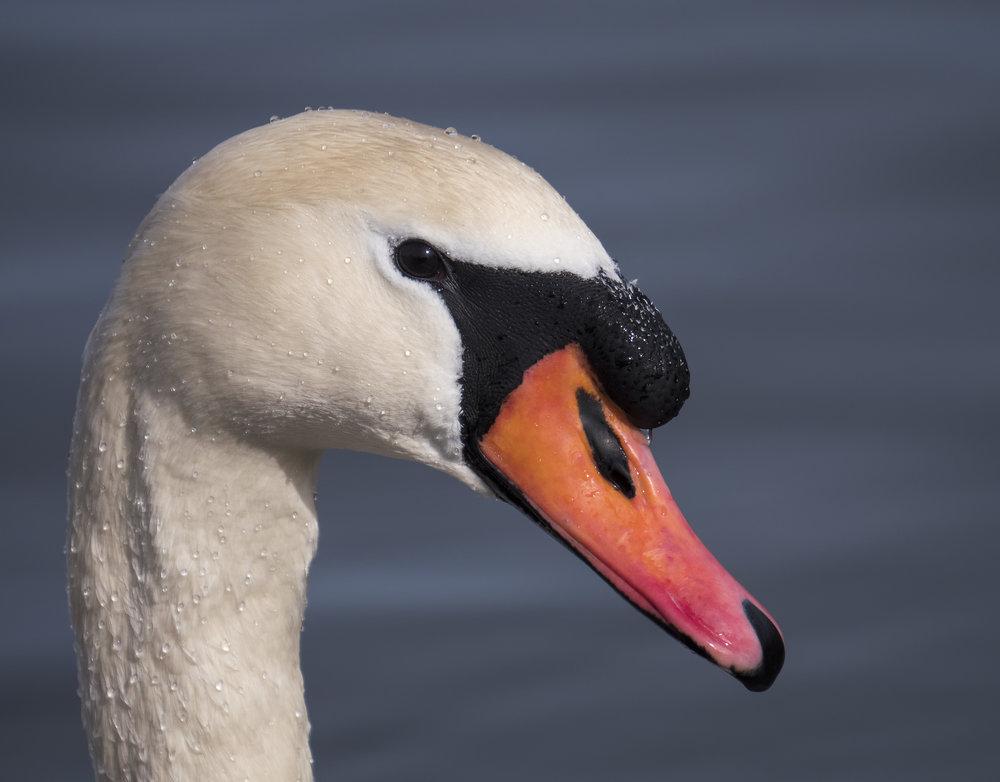 mute swan 100-400.jpg