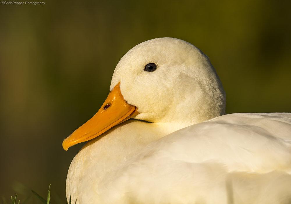 White duck.jpg