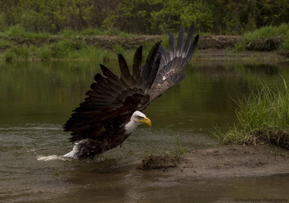 BC bald eagles.jpg