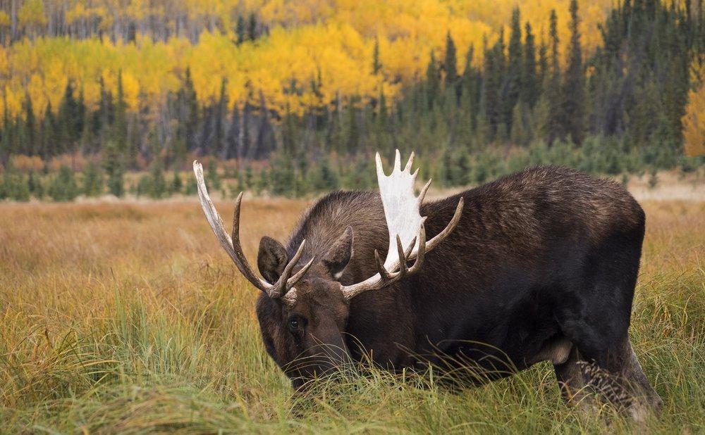 Chris Pepper Yukon Moose
