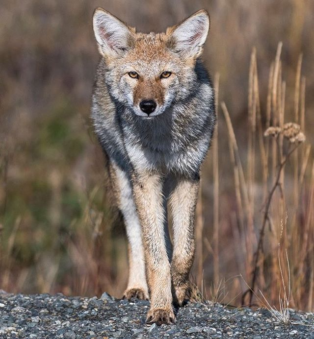 This week we have had three encounters with coyotes ranging from knee high to almost waist high. #travelyukon #opcmag #igscwildlife #yukontourism #coyote #haveyourcameraready #yukon #cangeo #canada150