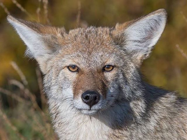 At this point he was so close the intensity of his stare made me feel like dinner. #sharecangeo #splendid_nature #opcmag #coyote #travelyukon #pleasedonteatme #nicedoggy