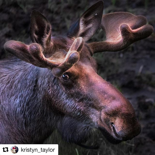 Thank you Kristyn Taylor for your awesome image of a moose in Alberta.  We want to see your best images from across Canada. To be a featured artist please tag your images #n49share  #northof49photography #alberta #moose #igscwildlife