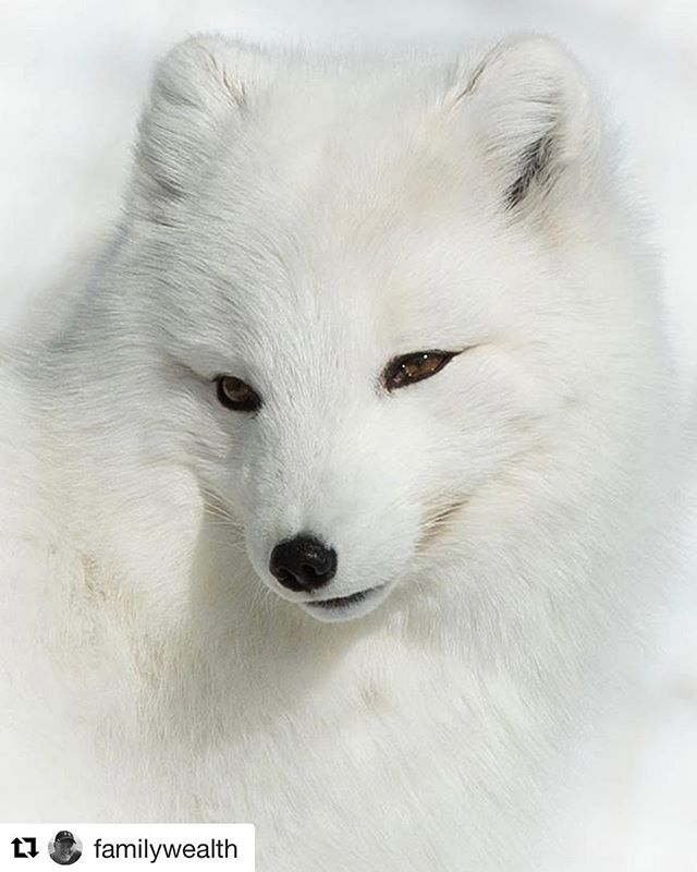 A beautiful capture of an Arctic Fox in Yukon. Thank you @familywealth for your share. 👍 . If you would like to be a featured artist on our page please remember to tag your image #n49share