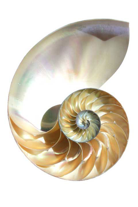 Nautilus-Shell.jpg