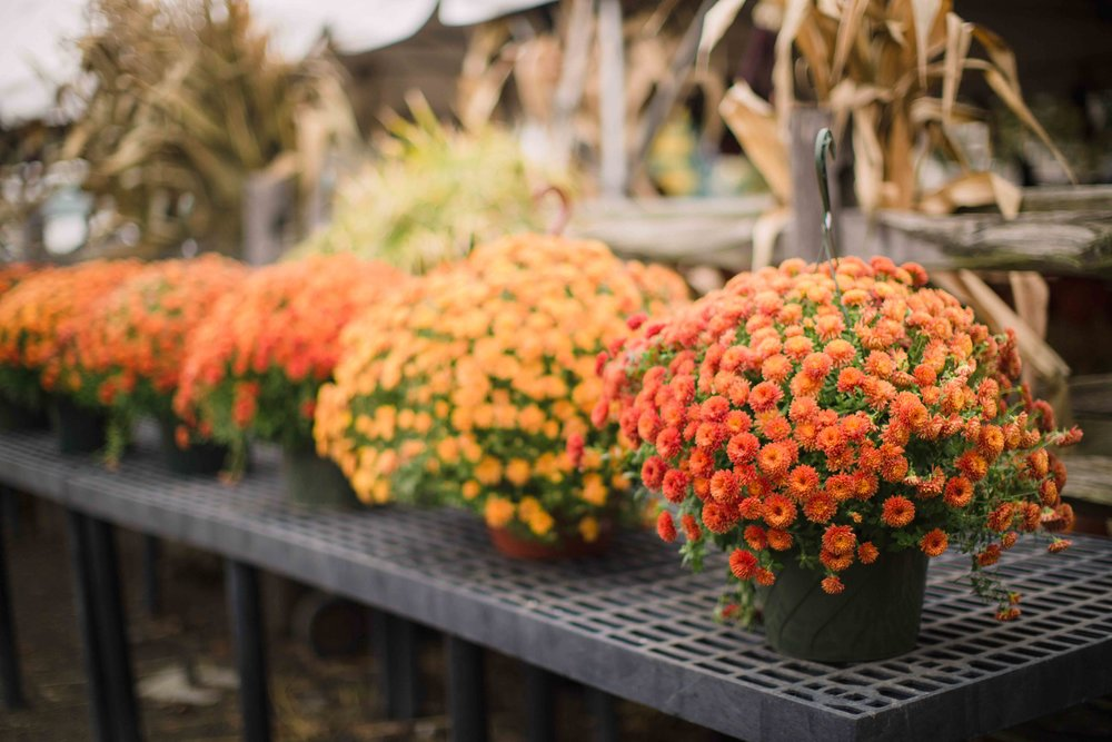 Day 140 - October 18, 2016  Somehow I plan to buy flowers for my hanging basket by my door all summer but I never get around to it. Both years we have lived here, I have only purchased mums to hang in that basket in the fall. The orange mums are my favorite.