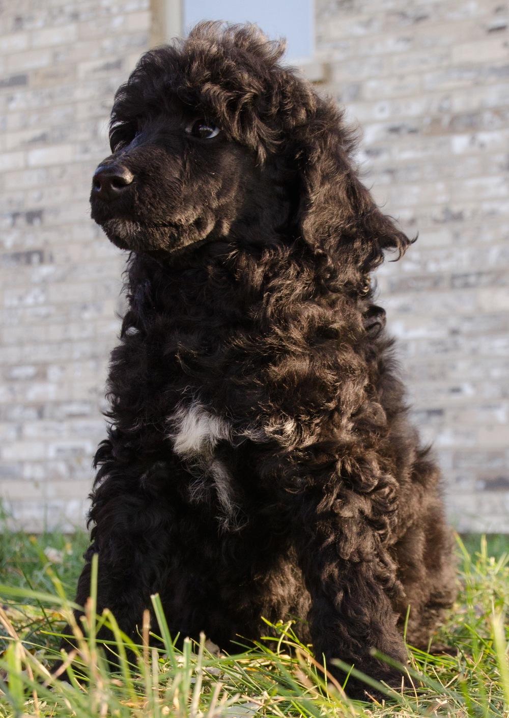 Poodles(053).jpg
