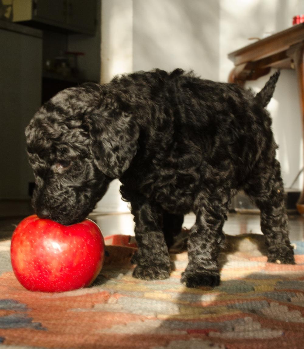 Poodles(149).jpg