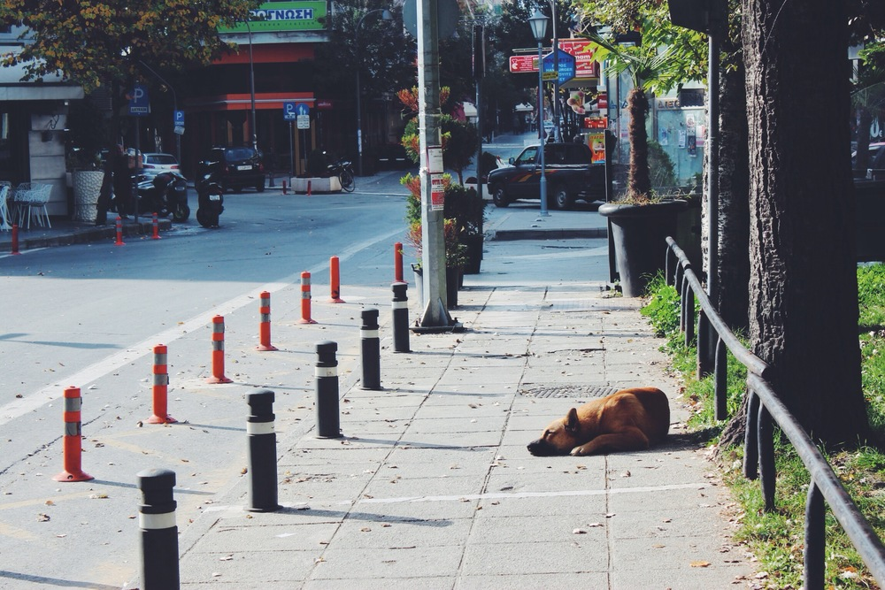 Stray Greek Dog Shepherd