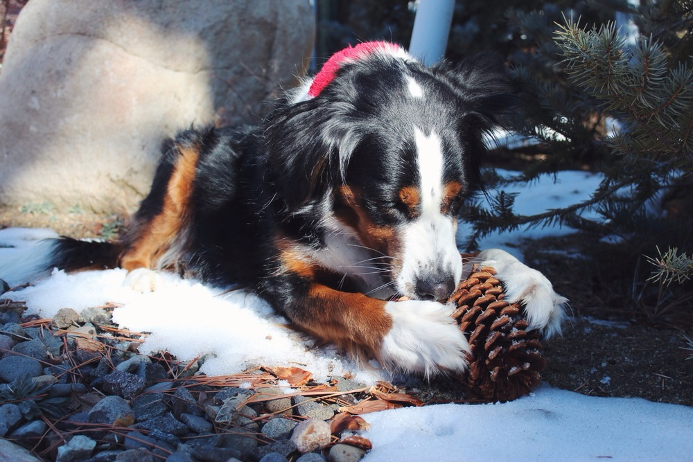 Lake Tahoe Pine Cone Dog