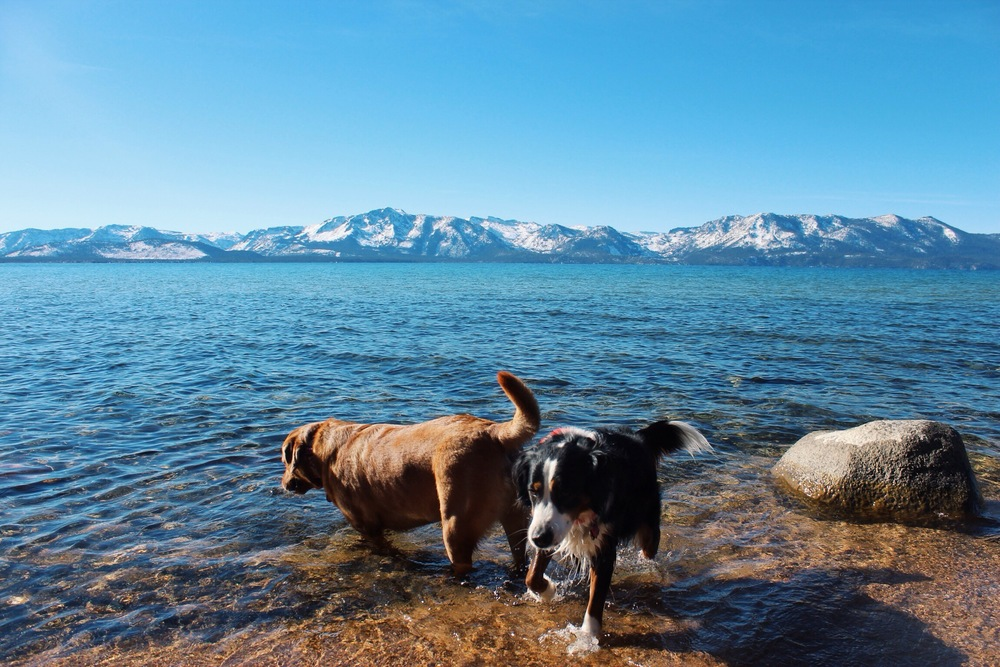 Lake Tahoe Dogs Swimming