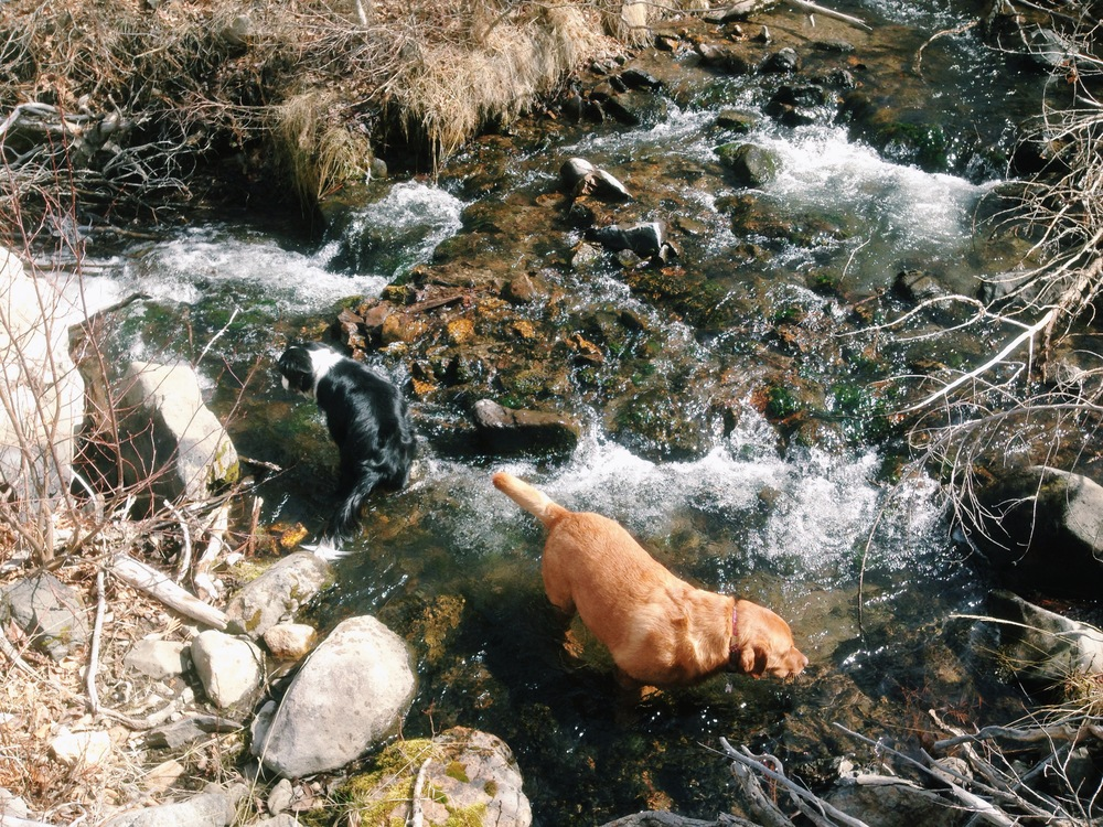 Dogs in a Creek