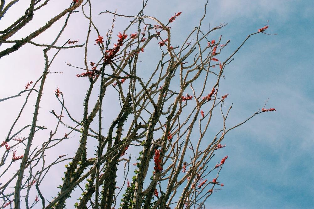 Ocatillo blooms
