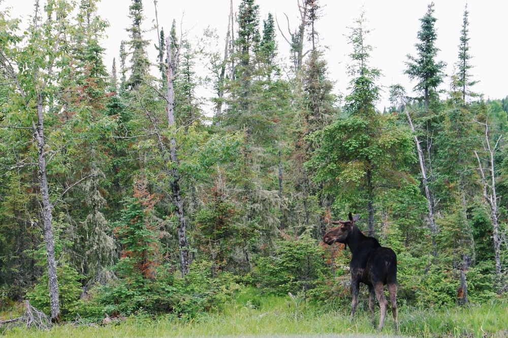 Northern Ontario Moose