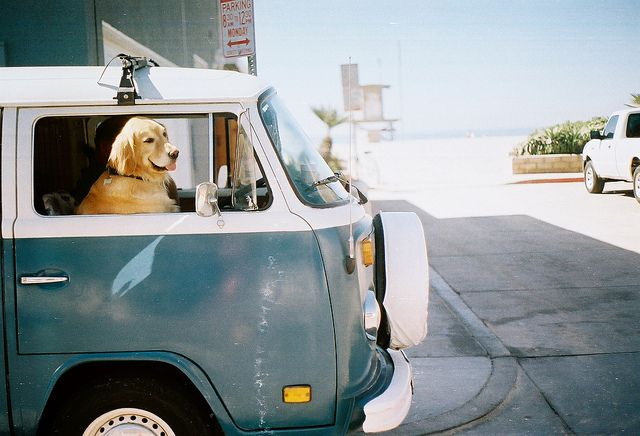 Dog in VW