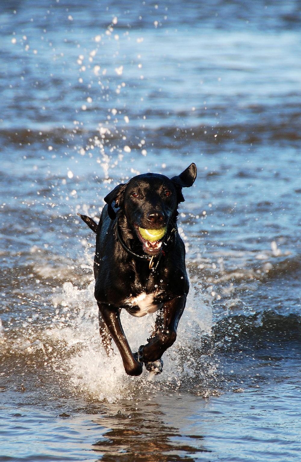 bigstock-Black-Dog-Playing-In-Water-5182279.jpg