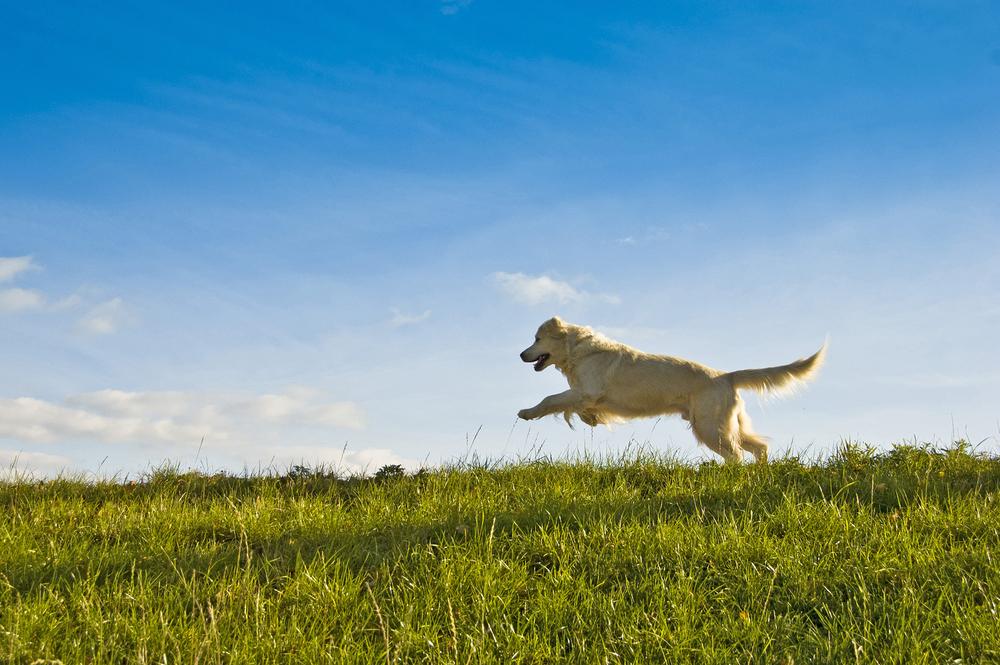bigstock-golden-retriever-dog-jumping-29954735.jpg