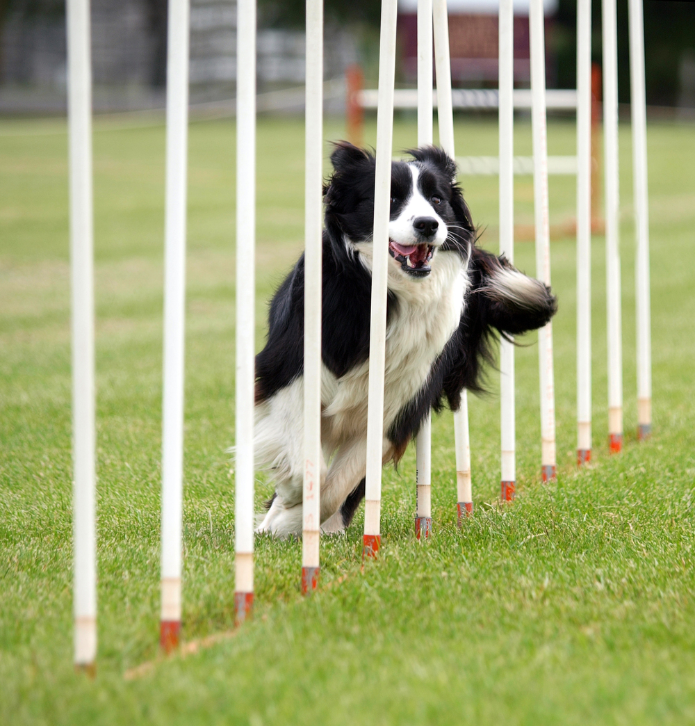 bigstock-Border-Collie-Weaving-6465383.jpg