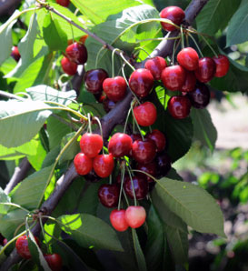 The Bing cherry: grafted in Oregon by Seth Luelling and his head orchardist Ah Bing