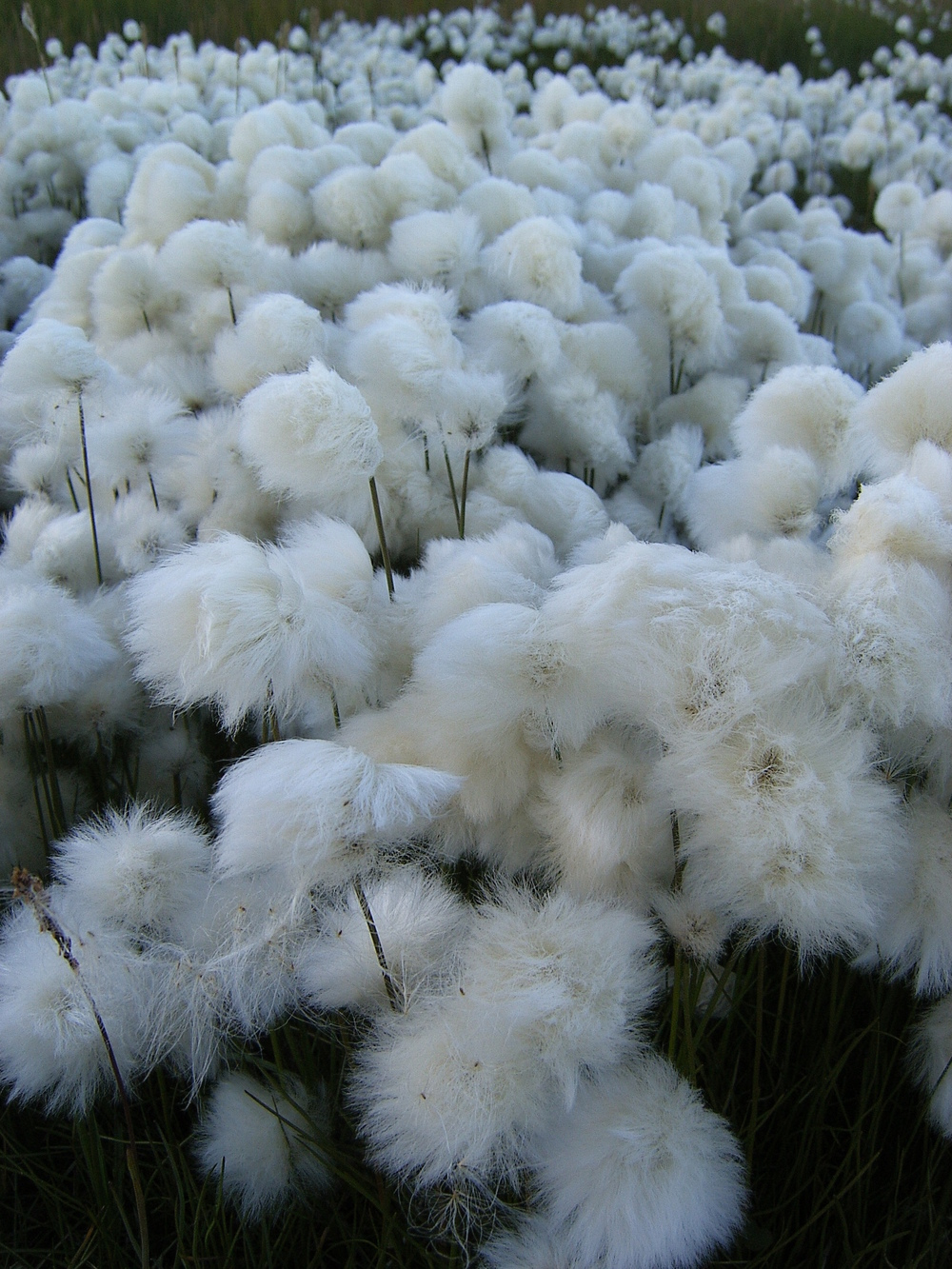Tundra_cotton_field_2_by_Arctic_Stock.jpg