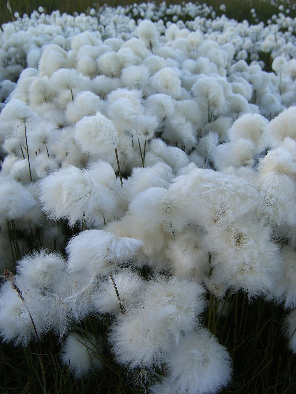 Tundra_cotton_field_2_by_Arctic_Stock.jpg