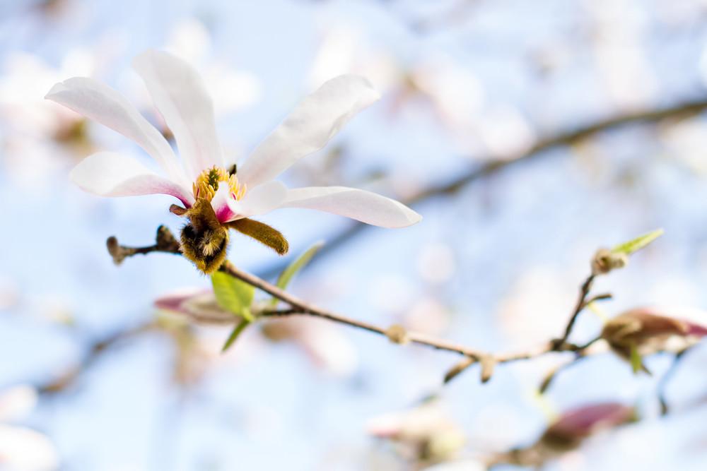 Magnolia Arvika
