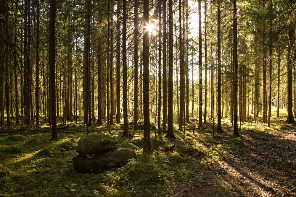 Skog + Solnedgång