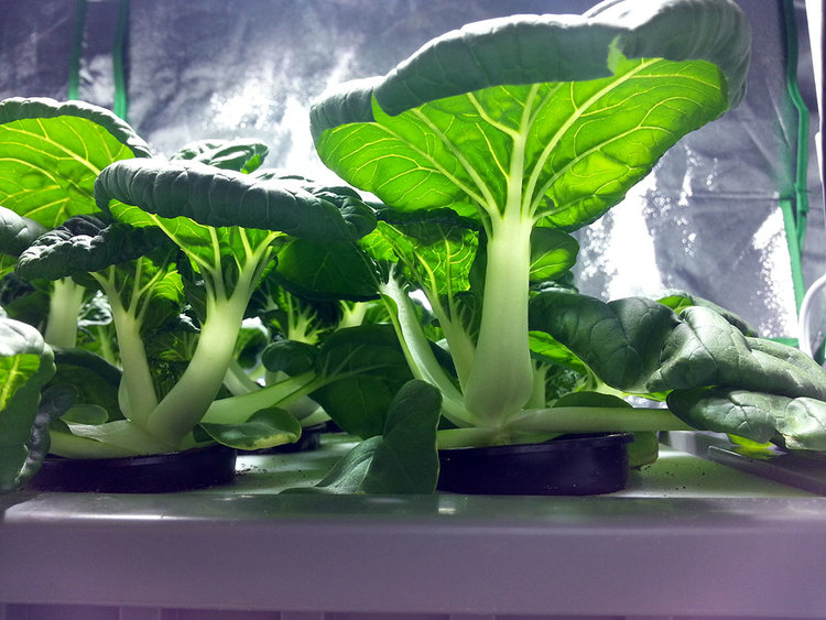Hydroponic Bok Choy Grown By My 4 Year Old Outdoor Hydro
