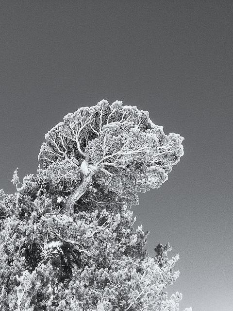 Old Pine on Flickr.