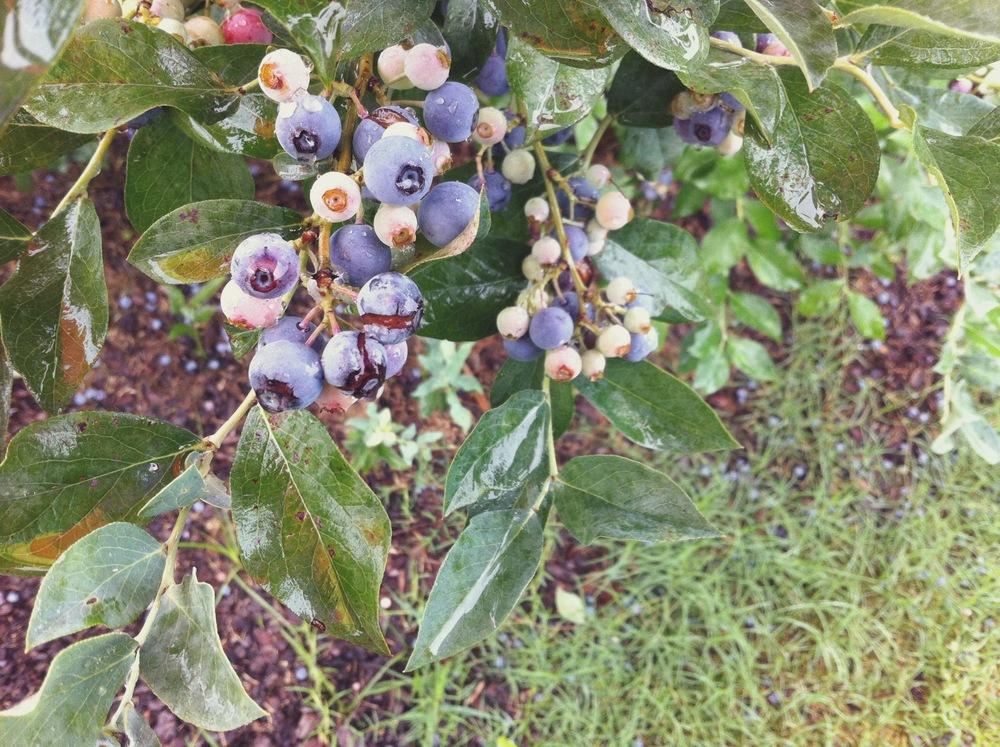 Blueberry Cardamom Pie
