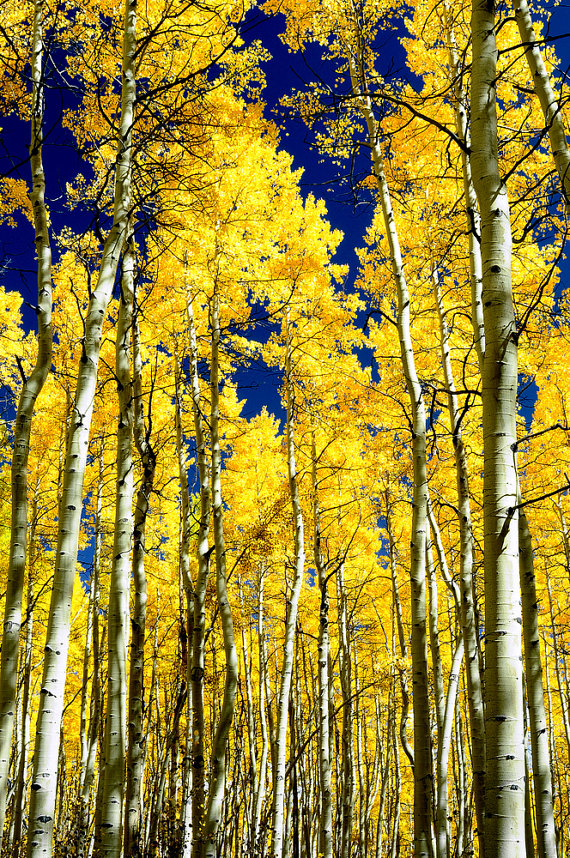 Diane with Simply Lodge,   Aspens Autumn Trees