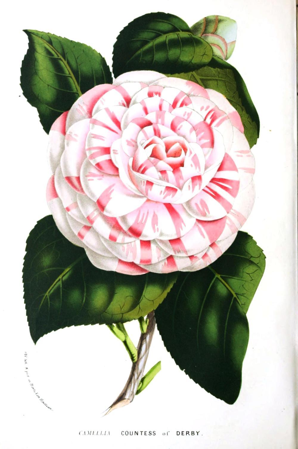 Botanical-Flore-des-Seres-et-Des-Jardins-de-LEurope-Camilla-japonica1.jpg