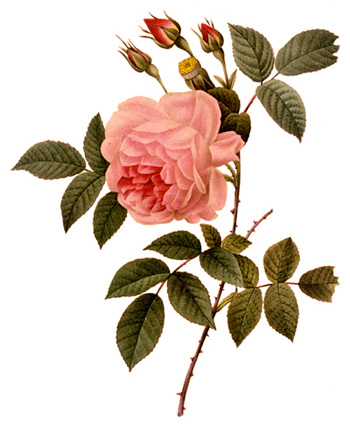 3.redoute_rosa_indica.jpg
