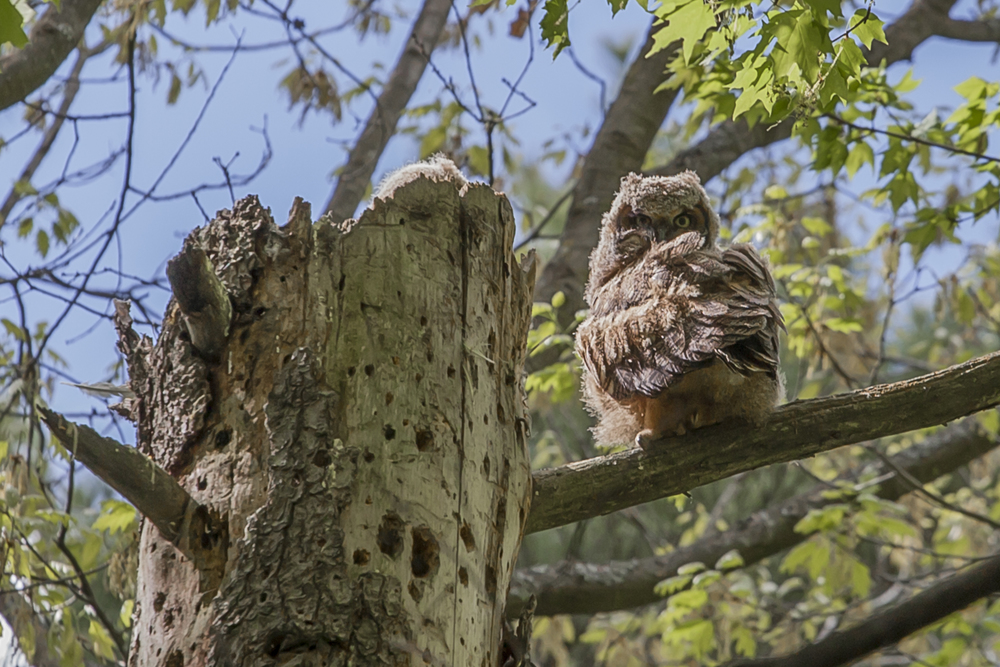 Great Horned Owlet, Mud Lake