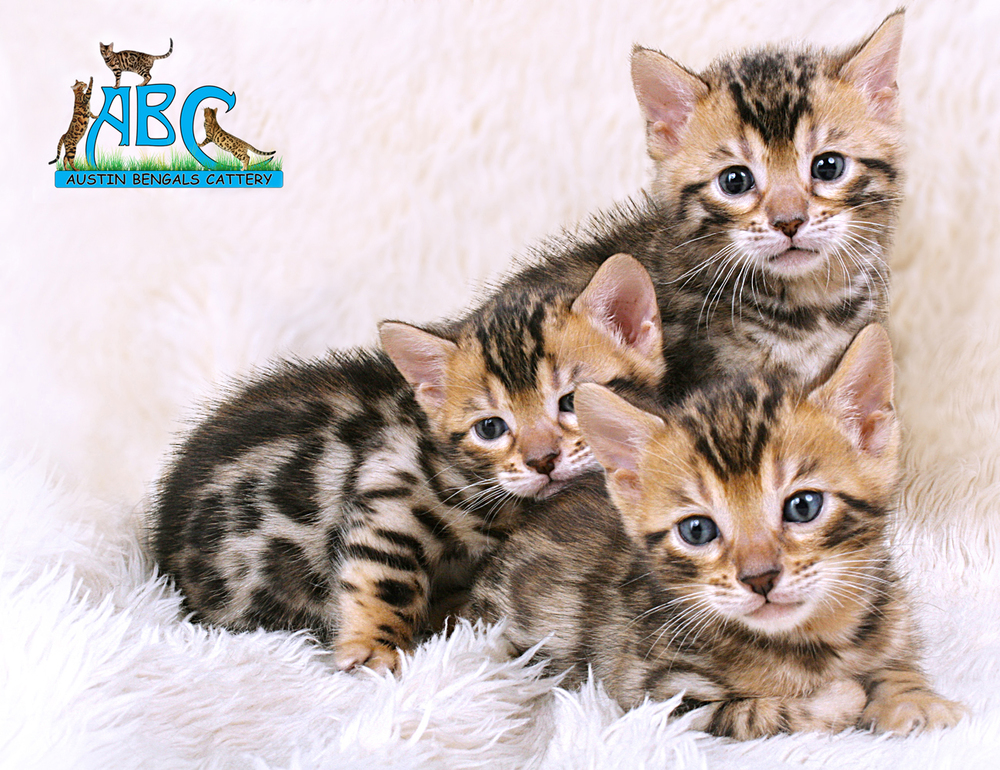Austin Bengals Cattery