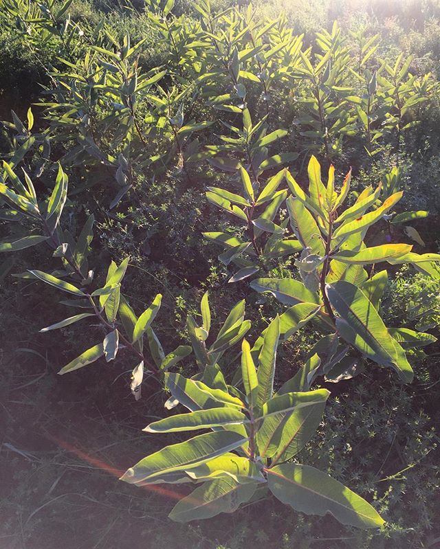 Leaves etched in sun. #milkweed #sunflare #fieldnotes / #newhampshire