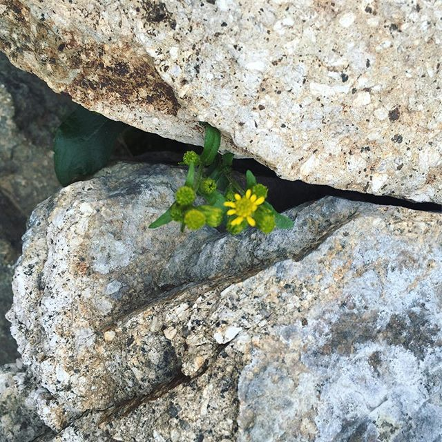 At home in the rocks. #flower #alpine #yellow #fieldnotes / #newhampshire