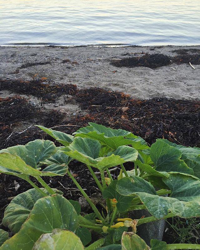 Where summer squash grows on the beach ✨ #eatlocal #squashblossom #fieldnotes / #belfastme #maine