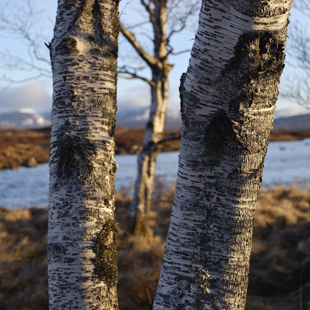 Rannoch Moor Birch 2